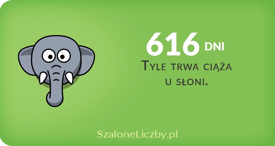 ciąża słonia